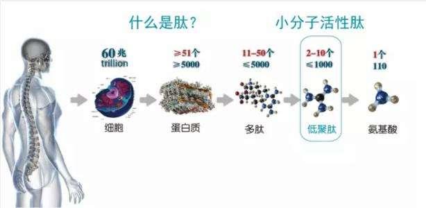 肽具有不同氨基酸和蛋白質的獨特的生理功能